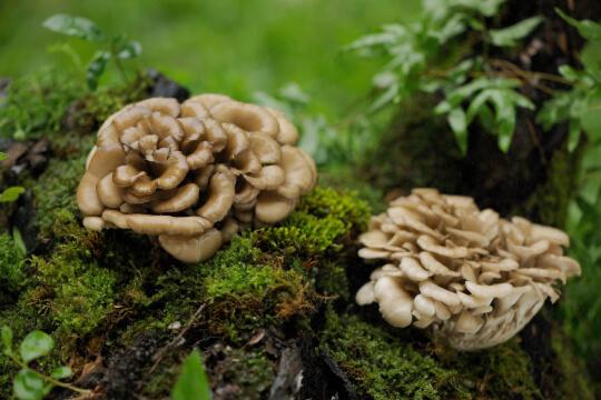 Maitake paddenstoel Pure Mushrooms